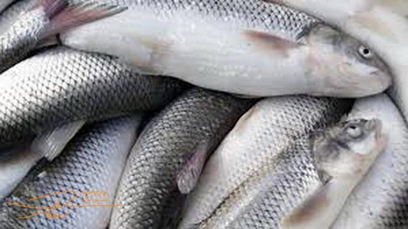 خرید ماهی در کیش