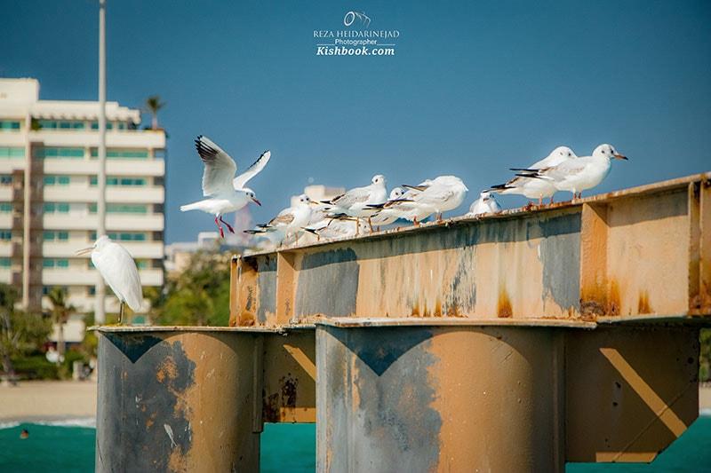پرندگان در کیش