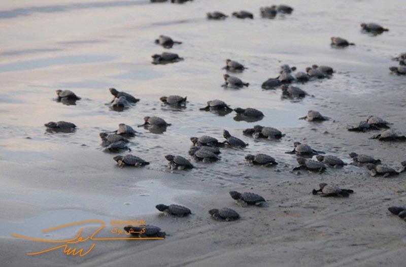 جزیره لاک پشت های کیش