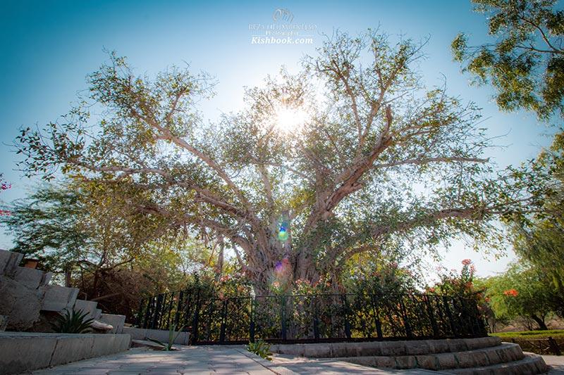 درخت سبز یکی از دیدنی های کیش